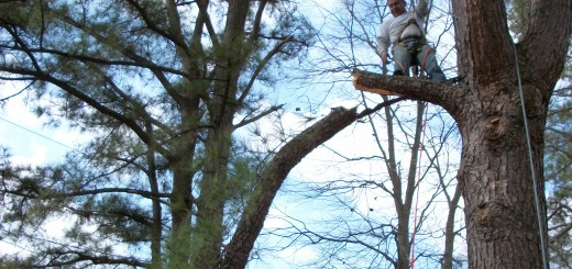 Here is an example of our tree expert limbing a branch.